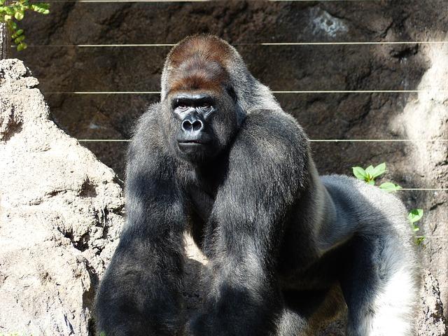 velká gorila.jpg
