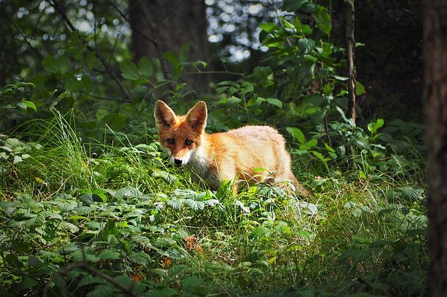 mládě lišky